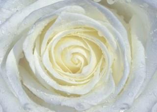 Фототапет кремообразна роза - 663