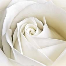 Фототапет единична бяла роза - 8-001
