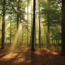 Фототапет слънчеви лъчи в гората - 10331