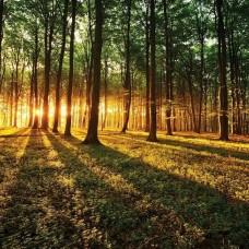Фототапет слънчеви лъчи, докосващи нежно гората - 2226
