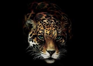 Фототапет Ягуар на черен фон - 10148