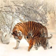 Фототапет сибирски тигри през зимата - 13004